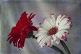 Red & White Daises