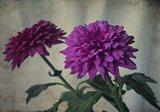 Two Purple Mums