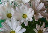 Chrysanthemums in White