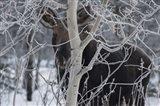 Hiding Moose