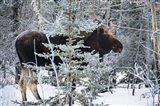 Moose Profile