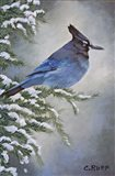 Stellar Jay in Winter