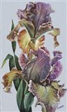 Varied Bearded Iris