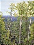 Forest Road Aspen