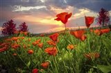 Sunrise Poppies