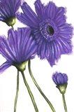 Purple Gerberas 2
