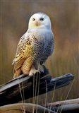 Snowy Owl On Dead Log