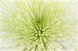 Lime Light Spider Mum