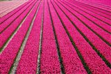 Tulip Field Hot Pink