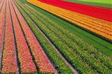 Tulip Field In Orang, Red And Green