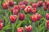 Tulip Field Papillon