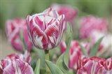Tulip Rembrandt-Spaendonck