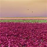 Carmine Tulip Field