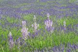 Lavender Fields with Clary Sage