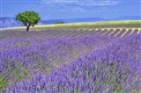 Lavender Fields with Tree