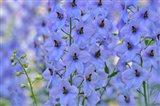 Blue Larkspur Flowers