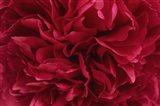 Carmine Red Peony Flower