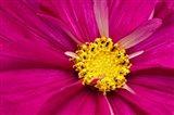 Crimson Pink Cosmos Flower