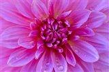 Fuchia-Pink Dahlia