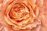 Orange Rose Close Up