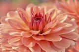 Peach Colored Dahlia Flower
