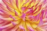 Pink Edged Cactus Dahlia