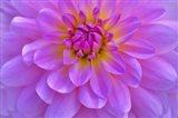 Violet-Pink Dahlia Flower
