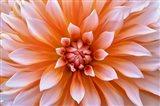 White Orange Dahlia Flower