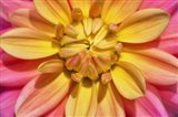 Yellow And Pink Dahlia Flower