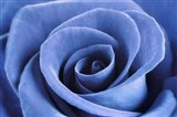 Denim Blue Rose