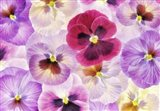 Pansy Passion I