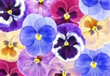 Pansy Passion II