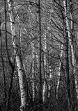 Black & White Natural
