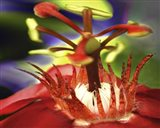 Red Watter Lilly