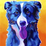 Border Collie - Jinx