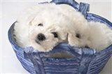 White Puppy In Blue Basket