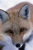Red Fox And Winter Frost
