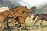 Brown Wild Horses Running