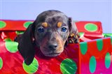 Blue Eyed Puppy in Christmas Box
