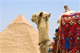 Close Up of Camel and Pyramid