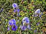 Bearded Iris in the Sunshine