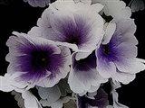 Vainglorious Violet