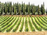 Cypresses and A Vineyard In Umbria