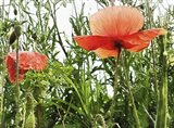 Poppies After The Rain