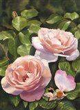 Rose Clair Renaissance Iii
