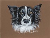 Gunner Border Collie