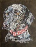 Pixie Dachshund Dog