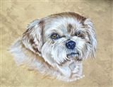 Teddy The Shih Tzu Dog