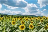 Sunflower Field Against Sky 02