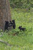 3 Black Bear Cubs (YNP)